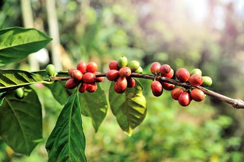 Coffee Plant with Cherries